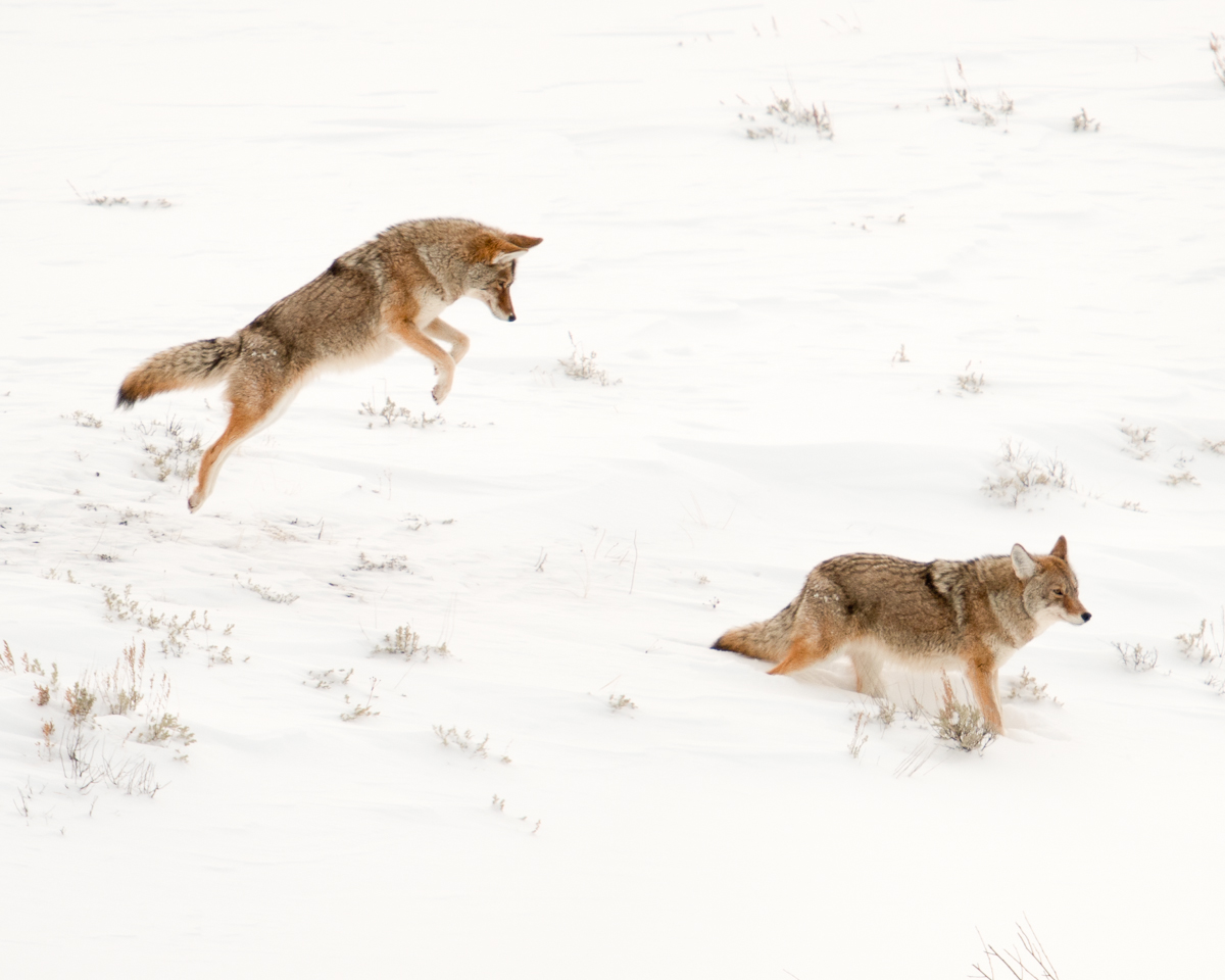 07 Yellowstone Composite Coyote 12-30-10 -35.jpg