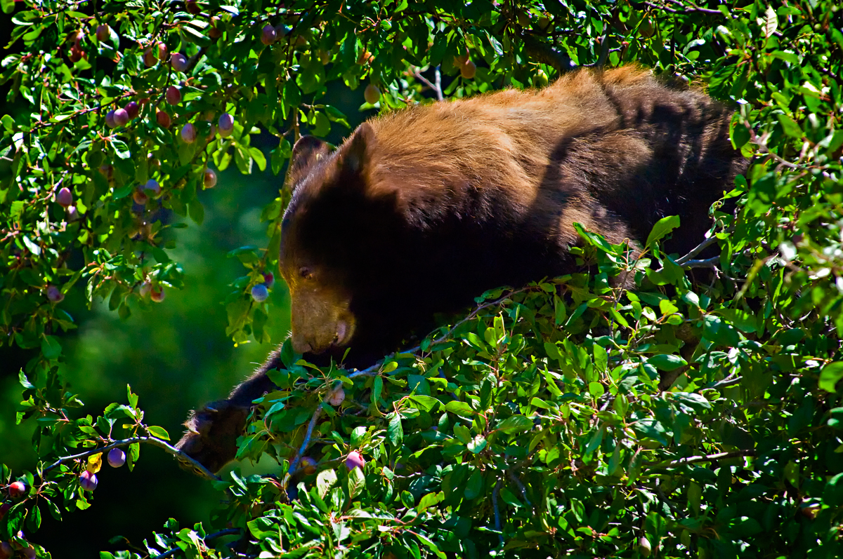 36 Juvenile Bear Eating Plumbs Yosemite c.jpg